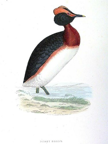 Dusky Grebe graphic