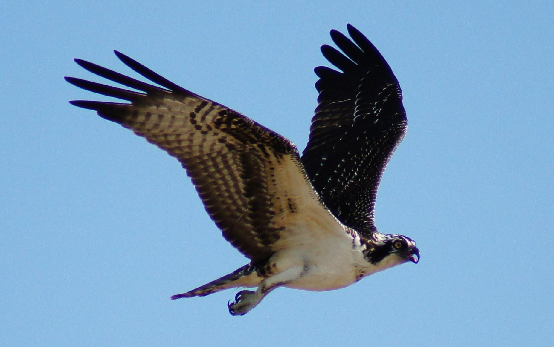 desert hawk diagram nissan sentra wiring 2016 eagle vs falcon