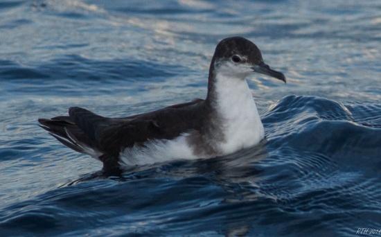 Audubon's Shearwater - BirdForum Opus | BirdForum