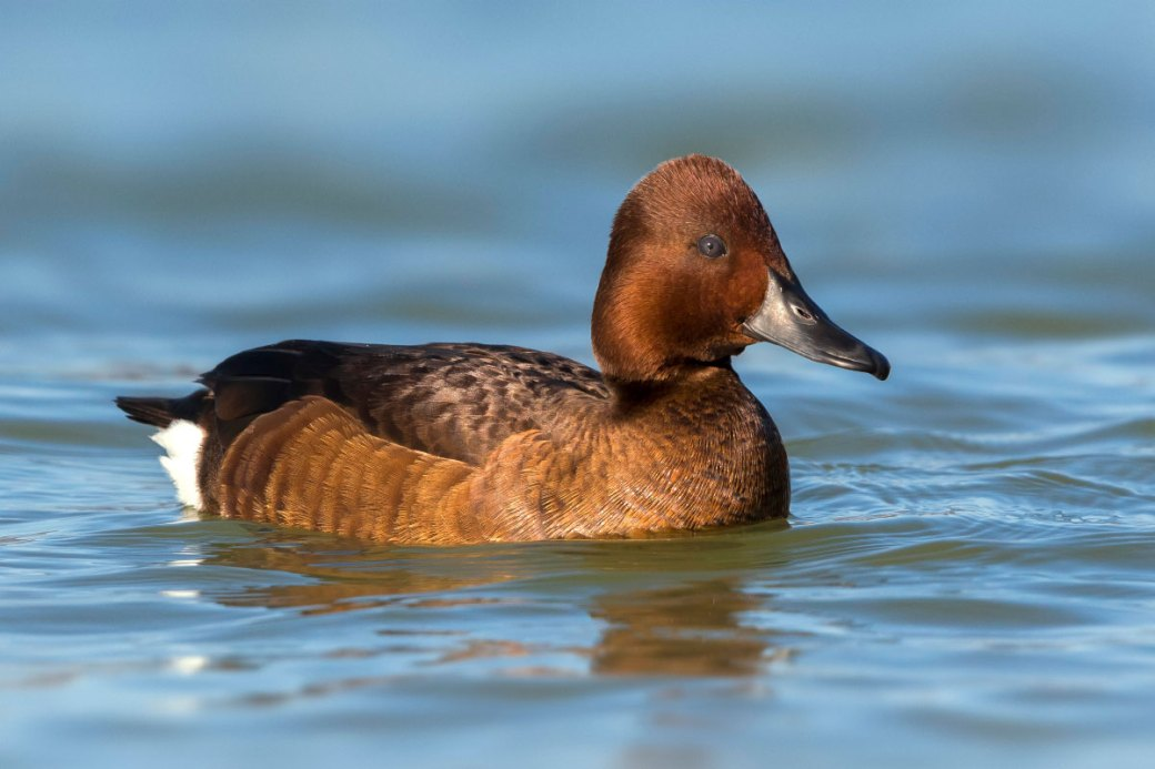 ferruginous duck, ferruginous pochard, common white-eye, white-eyed pochard, scientific name Aythya nyroca