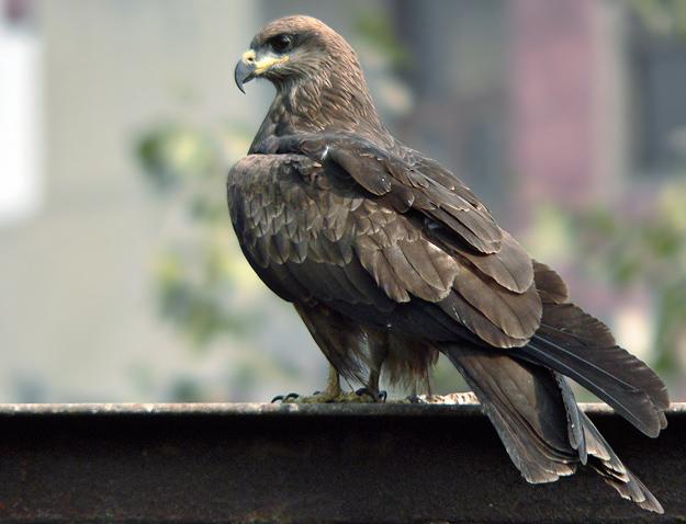 【原创】鹰:eagle、falcon、vulture...?(图) - Khubilai - Khubilai的博客