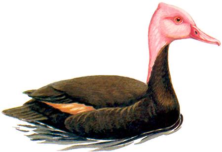 Pink-headed duck