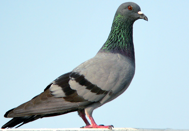 https://i0.wp.com/www.birding.in/images/Birds/rock_pigeon.jpg