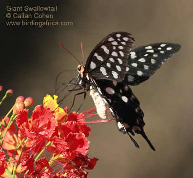 Madagascar Giant Swallowtail butterfly at Ifaty's spiny desert