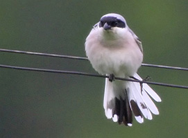 Lesser Grey Shrike photo