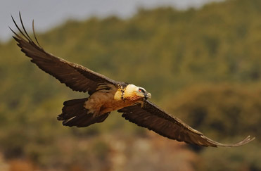 Lammergeier, Gypaetus barbatus. Also called the Bearded Vulture.