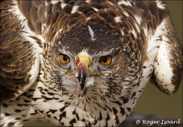 Bonelli's Eagle, Hieraaetus fasciatus.