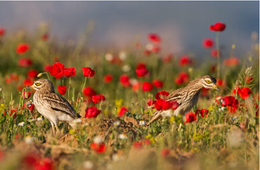 Stone Curlews, Burhinus oedicnemus, by Mark Curley.