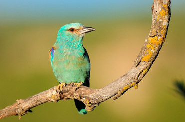 Roller, Coracius garrulus, on the plains of Lleida, Catalonia.