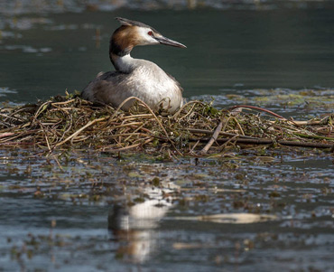 Great Crested Grebe, on a birding tour in Spain