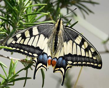 Swallowtail Butterfly, on a birding tour in Spain.