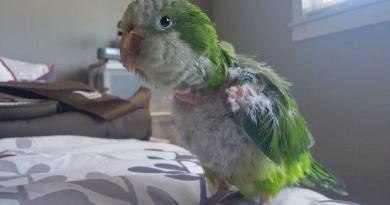 Darwin – Quaker Parrot