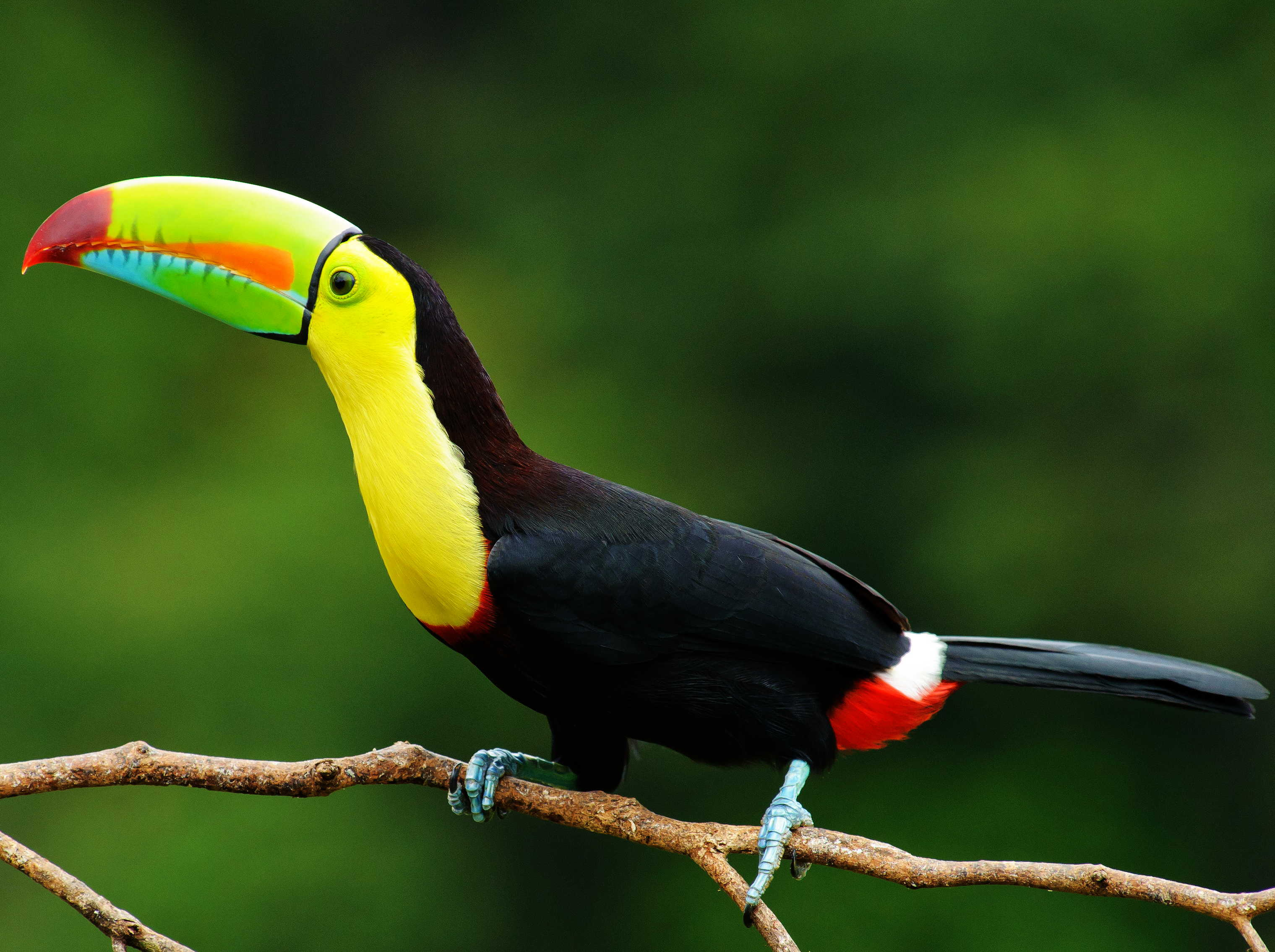 https://i0.wp.com/www.birdlist.org/images/nature_pictures/birds/keel_billed_toucan.jpg