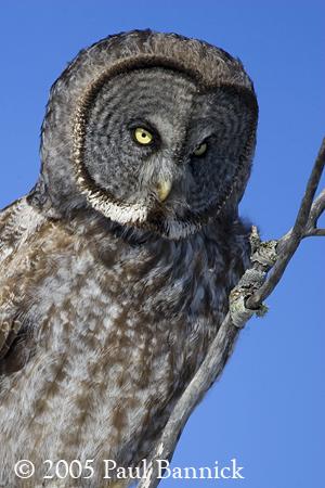 The Ears Of An Owl BirdNote