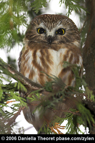 Northern Sawwhet  The Christmas Tree Owl  BirdNote