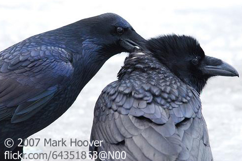 Fall Feather Wallpaper Raven S Love Song Birdnote