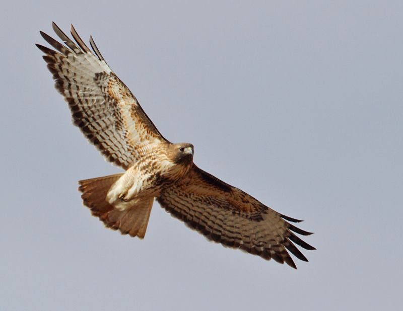 red tailed hawk in