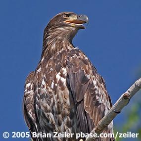baby bald eagles birdnote