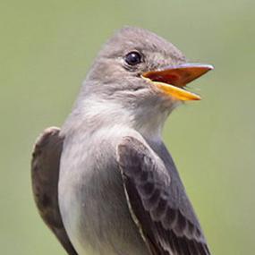 Birds That Whistle   BirdNote