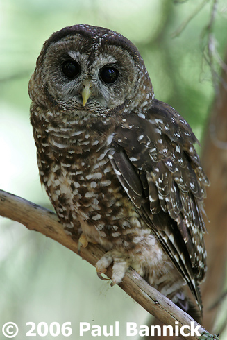 Northern Spotted Owl  BirdNote