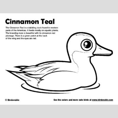 Cinnamon Teal Coloring Page