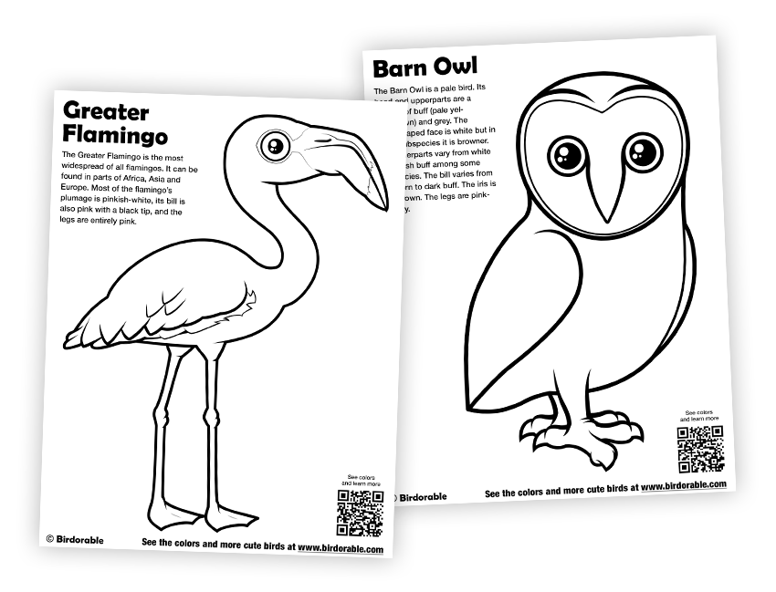 Flamingo and Barn Owl Coloring Pages in Free Downloads