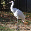 cranes north american birds