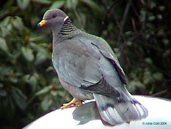https://i0.wp.com/www.birdsamore.com/_images/pigeon-band-tailed_350.jpg