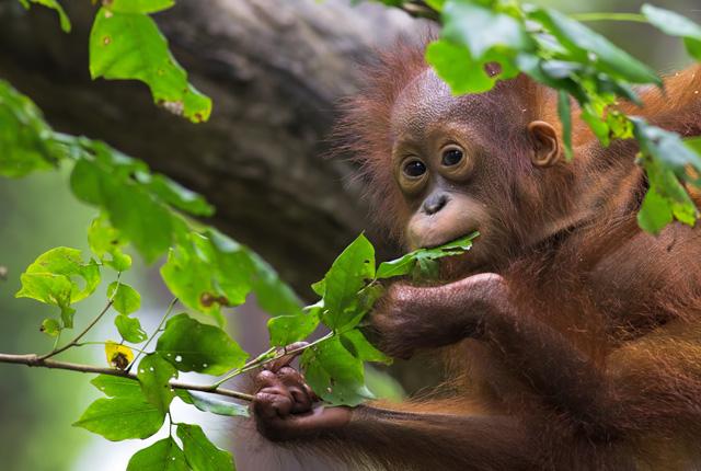 Sauvons les orangs-outans avec le WWFP