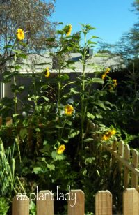 Grow Sunflowers for Birdseed - Birds and Blooms