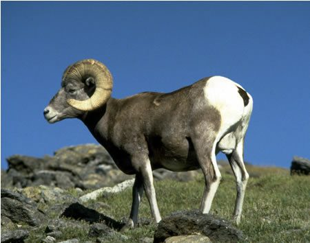National Geographic Fall Wallpaper Bighorn Sheep Wild Sheep Of The West Birds And Blooms