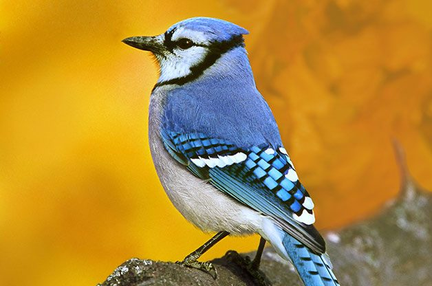 attracting blue jays colorful