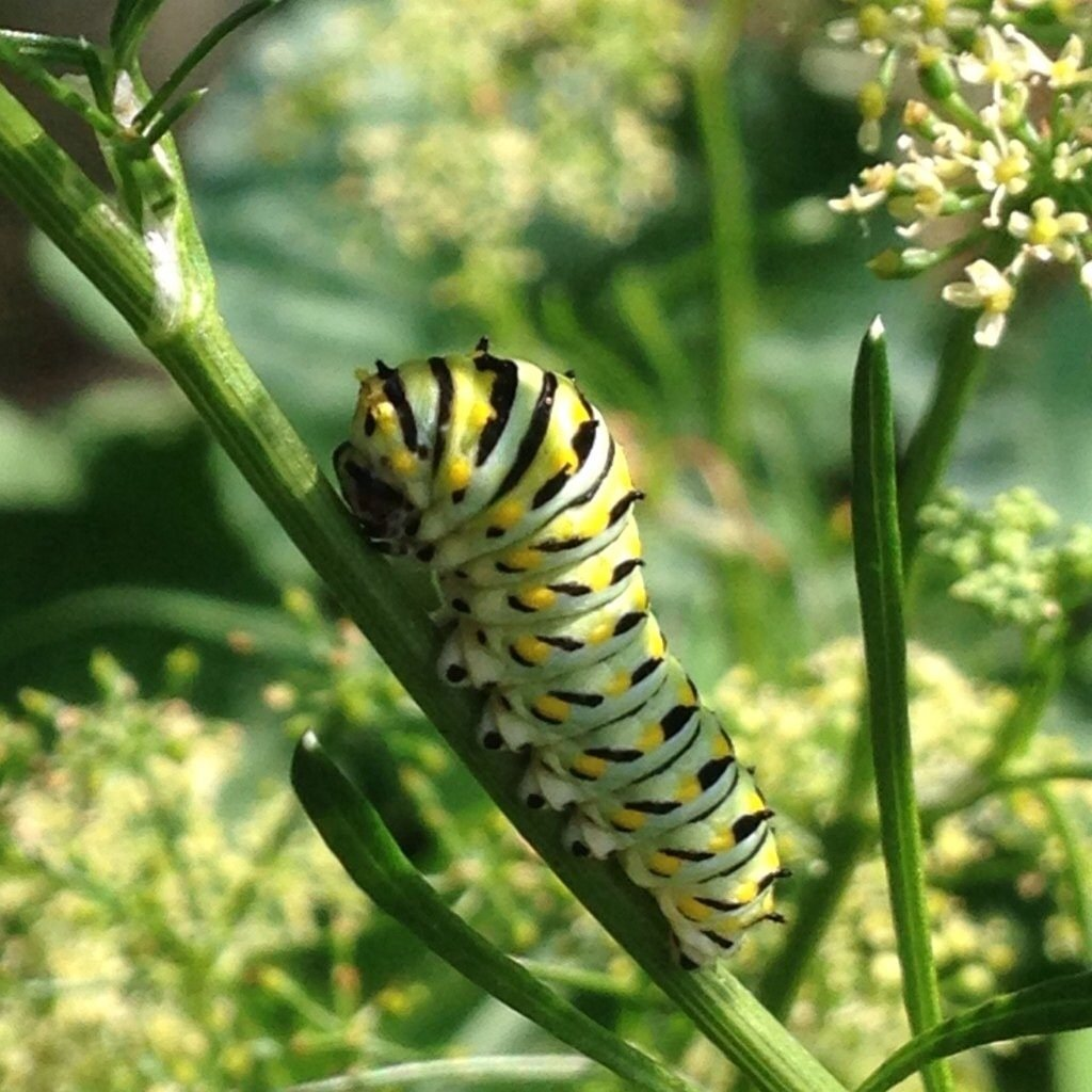 Black Swallowtail Caterpillar on Dill  Birds and Blooms