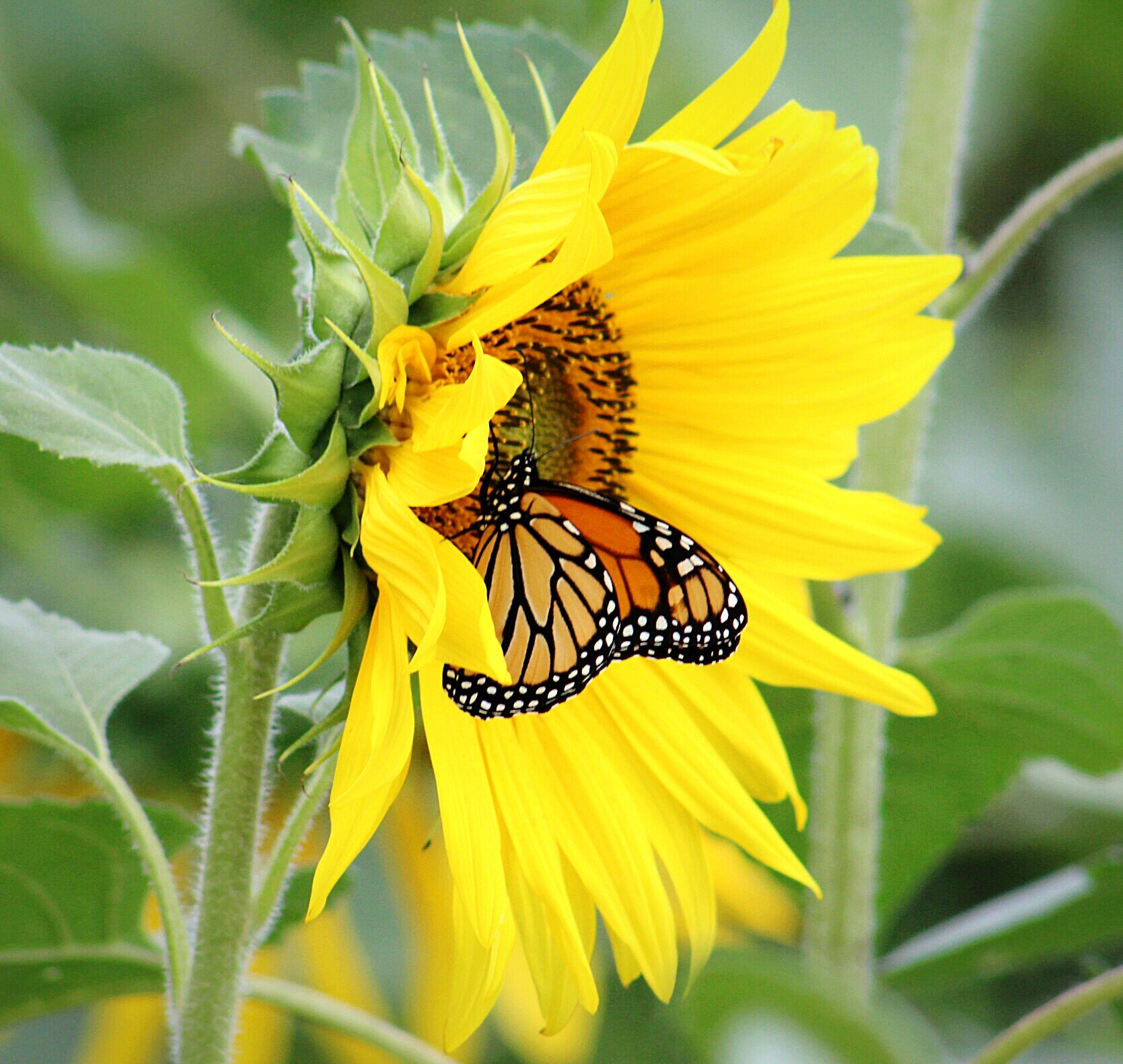 Sunflower and monarch butterfly  Birds and Blooms