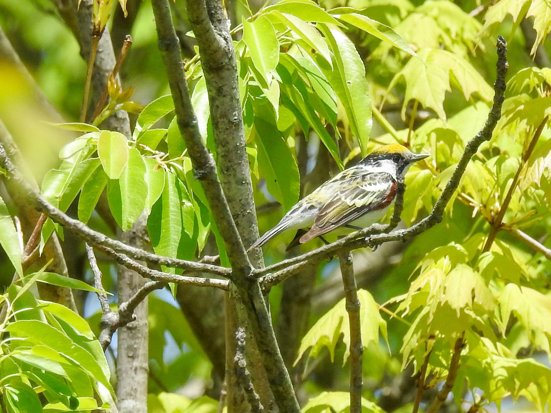 Chestnut Sided Warbler Spring Migration Central