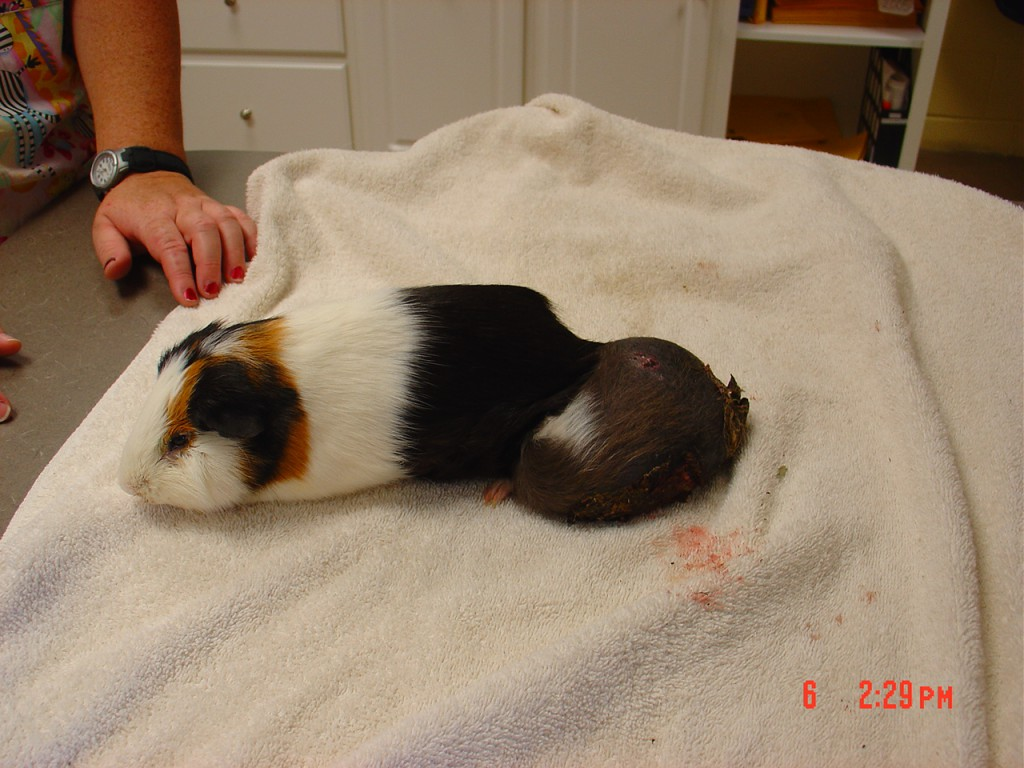 hight resolution of these are not two guinea pigs