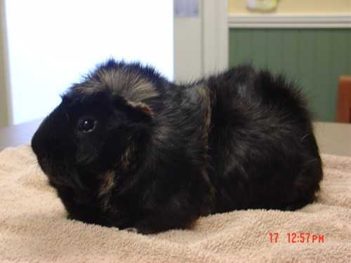 small resolution of caring for your pet guinea pig exotic vet care