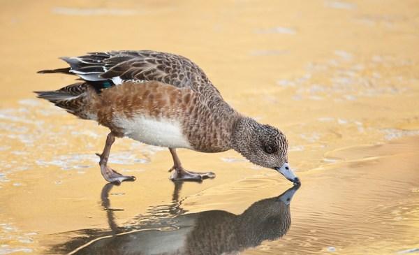 Wigeon Duck Hen