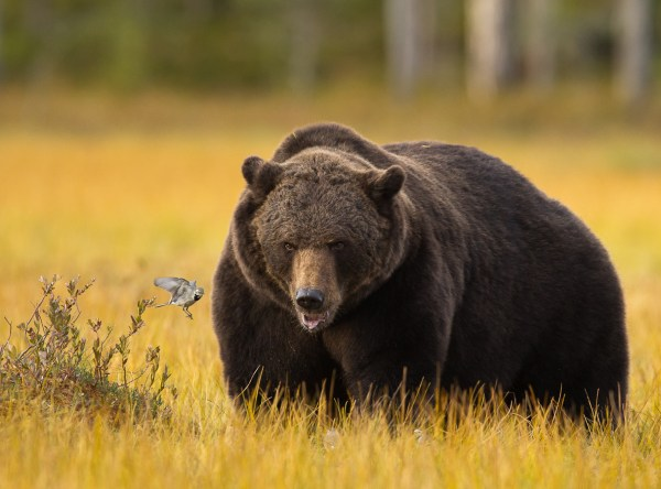 Small Grizzly Bears Pictures