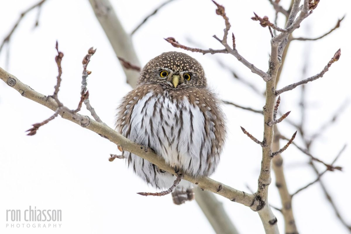 northern pygmy owl archives
