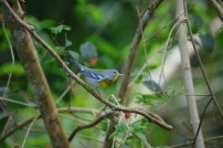 Northern Parula, one of many migrant warblers in Cuba.(photo by Ernesto Reyes)
