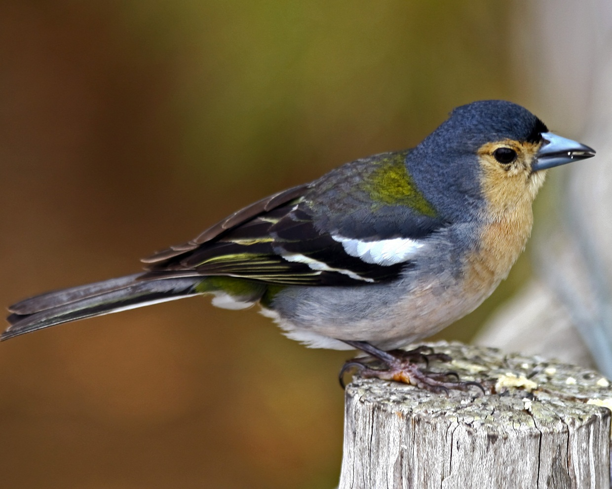 Finches Informations Pictures