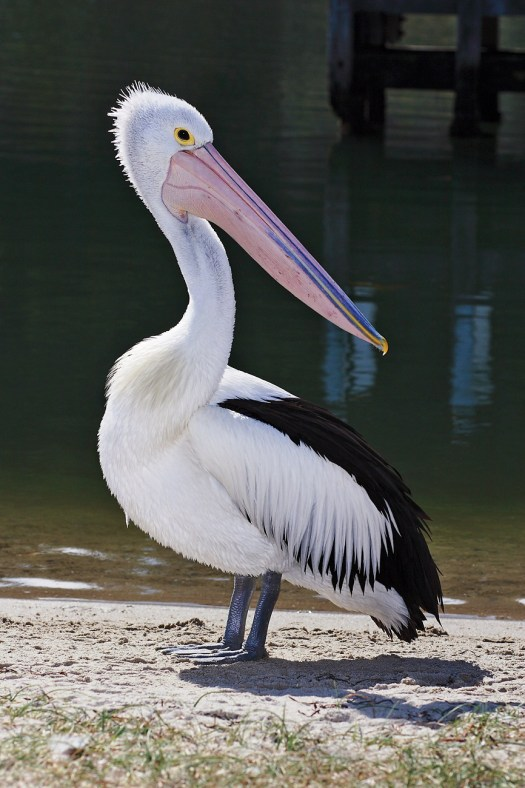 Pelicans Informations Pictures