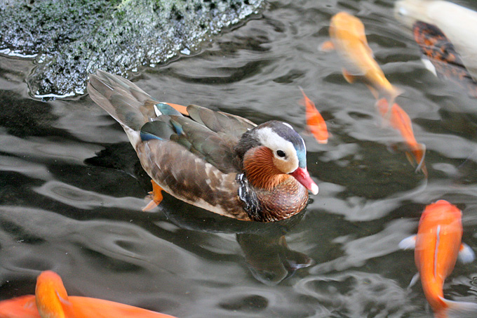 Mandarin Duck Symbol Of Love Or Of Animal Abuse