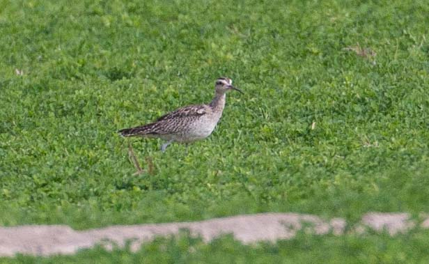 Little Curlew on turf
