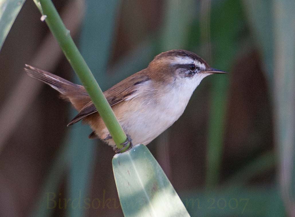 Moustached Warbler on a reed stem