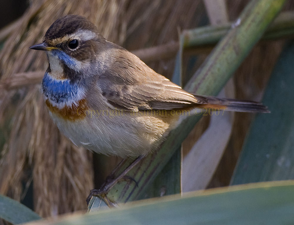 Bluethroat on a tree