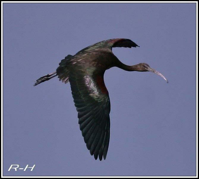 Glossy Ibis Plegadis falcinellus