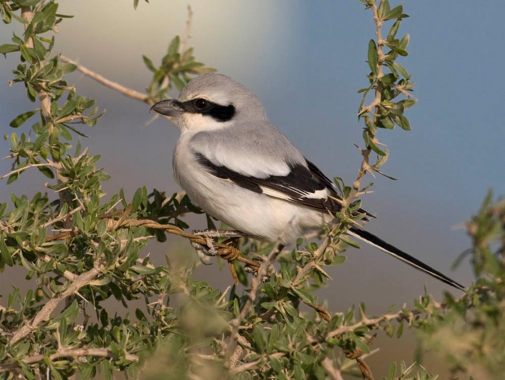 Great Grey Shrike Lanius excubitor lahotra