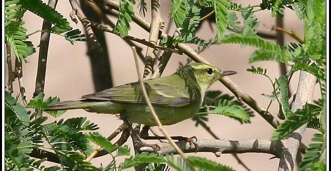 Green Warbler perched on a bush